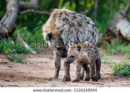 Hyena pup playing at the den with sunrise in a Game Reserve in South Africa