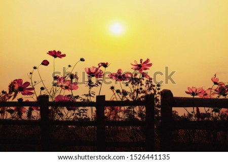 Beautiful sunset with cosmos flower fields