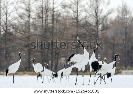 Dancing Cranes. The ritual marriage dance of cranes. The red-crowned crane. Scientific name: Grus japonensis, also called the Japanese crane or Manchurian crane, is a large East Asian Crane. #1526461001