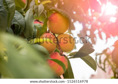 bunch of ripe peaches on tree surrounded by foliage #1526516978