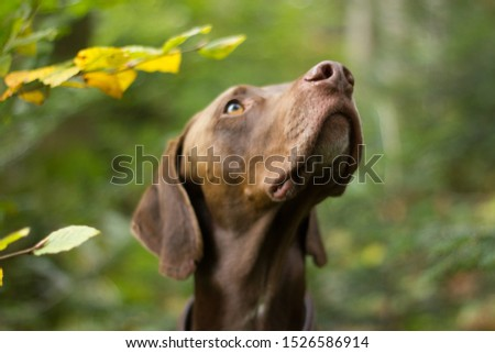 Weimaraner Pointer Hunting Dog Hunting In The Forest #1526586914