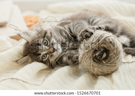 little cute gray kitten plays on a white plaid by the window #1526670701