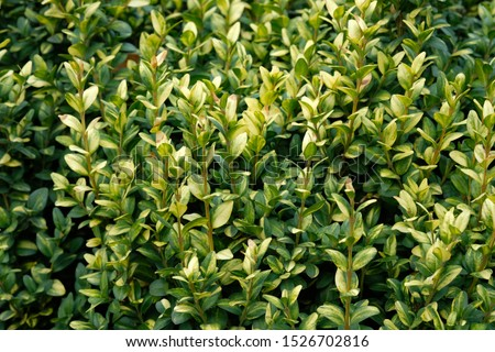 Boxwood bush leaves closeup, background. Boxwood is a slow-growing evergreen shrubs and trees for decoration of parks and gardens. #1526702816