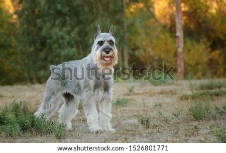 Standard Schnauzer dog standing in field #1526801771