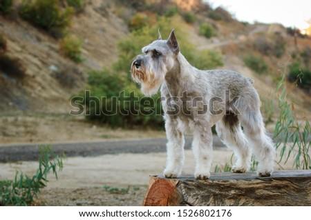 Standard Schnauzer dog standing in the field #1526802176