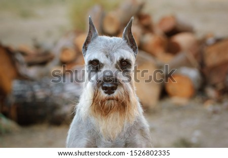 Standard Schnauzer dog portrait in the field #1526802335