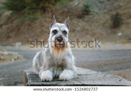 Standard Schnauzer dog standing in the field #1526802737