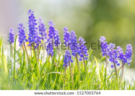 Muscari - grape hyacinth flower, group of flowers in meadow with blurred background in sunny day. #1527003764