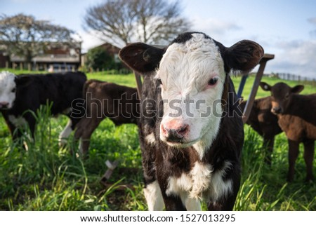 Young friesian calf in paddock with other calves, rural New Zealand #1527013295