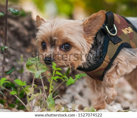Little Yorkie walking around the park
