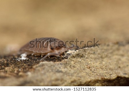 Wood louse Porcelio in nature #1527112835