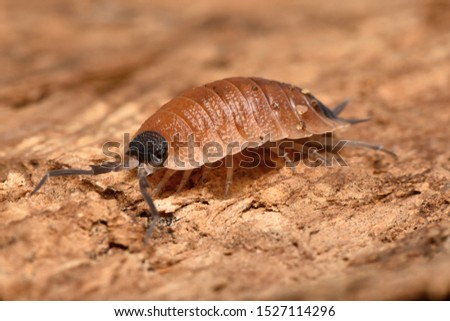 Wood louse Porcelio silvestri from Europe #1527114296