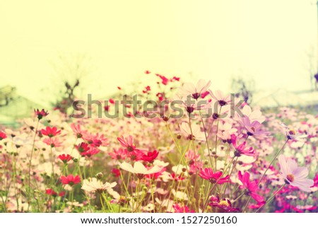 Pink cosmos flowers in the garden ,in morning #1527250160