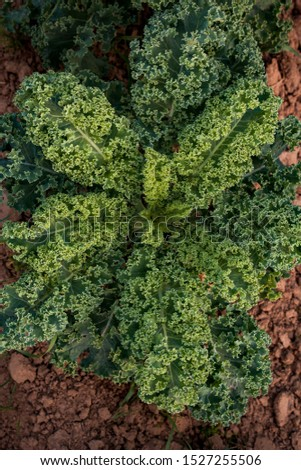 Organic background. Fresh photo of cabbage kale grows on a garden bed. Nutrition picture of a healthy diet.