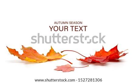 autumn season concept, maple leaf isolated on white background Royalty-Free Stock Photo #1527281306