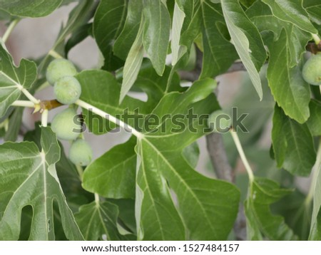 Green Fig berries on a branch with leaves on a Sunny summer day. Tropical fruits on the branches. Vegetarian food. #1527484157