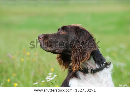 Hunting dog in a meadow #152753291