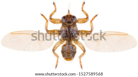 Lipoptena cervi, the deer ked or deer fly, is a species of biting fly in the family of louse flies, Hippoboscidae isolated on white background. Dorsal view of isolated deer fly.