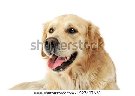 Portrait of an adorable Golden retriever looking satisfied - studio shot, isolated on white background. #1527607628