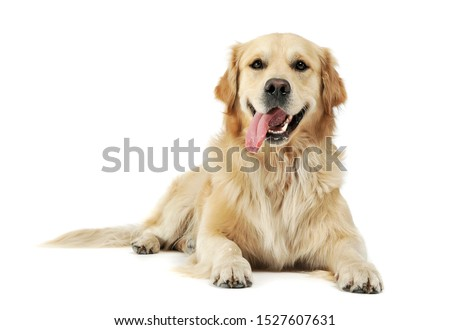 Studio shot of an adorable Golden retriever lying with hanging tongue - isolated on white background. Royalty-Free Stock Photo #1527607631