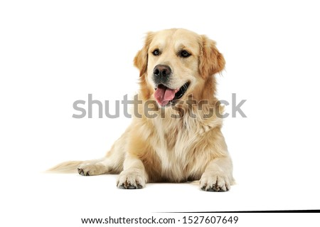 Studio shot of an adorable Golden retriever lying and looking satisfied - isolated on white background. Royalty-Free Stock Photo #1527607649