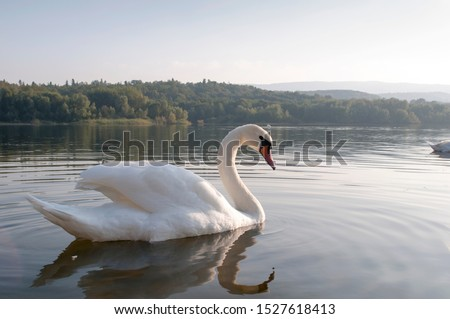 white swans with small swans on the lake Royalty-Free Stock Photo #1527618413