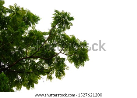Tropical tree leaves with branches on white isolated background for green foliage backdrop  #1527621200