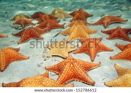 Plenty of cushion starfish on a sandy ocean floor Royalty-Free Stock Photo #152786612
