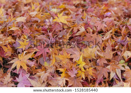 Fallen leaves of momiji, or Acer palmatum, or red emperor maple, palmate maple, Japanese maple. #1528185440
