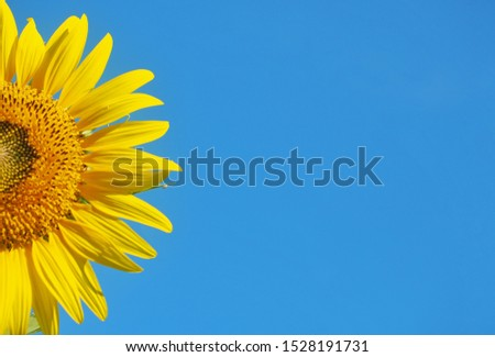 Sunflower on a blue background #1528191731