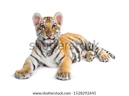 Two months old tiger cub lying against white background #1528292645
