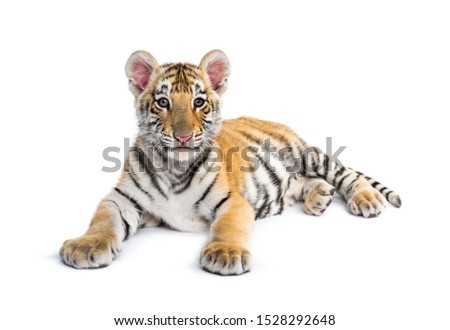 Two months old tiger cub lying against white background #1528292648