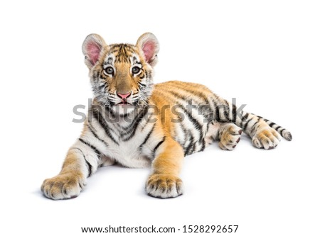 Two months old tiger cub lying against white background #1528292657
