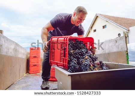 Young farmer at the winery unload the truck or tractor trailer with plastic boxes grape fruit containers to the squeeze machine in wine making process after the harvest #1528427333