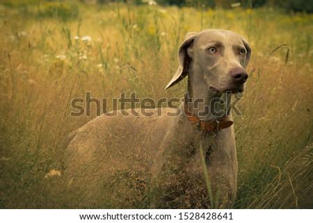 Weimaraner dog looking curious in grass field #1528428641
