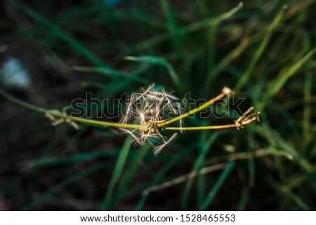 windmill, dandelion, macro with green background #1528465553