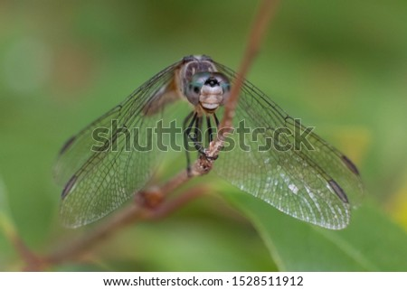 The position of the mouth and jaws of this blue dasher makes it appear to be laughing. Good for a meme.