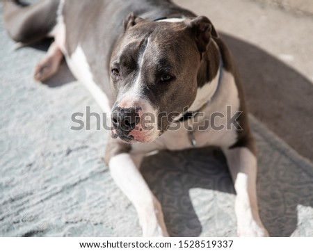 pitbull is watching you take his picture
