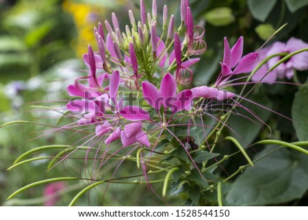 Spider flower or spider plant (Cleome spinosa, Cleome hassleriana, Tarenaya hassleriana) #1528544150