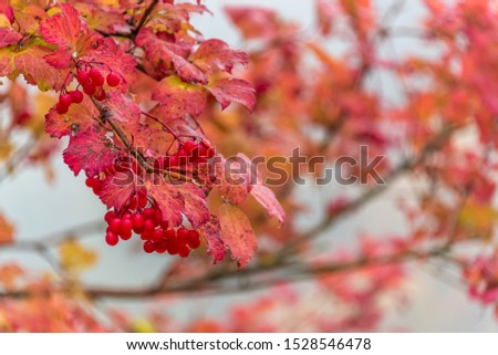 Red Berries and Red Leaves in Autumn #1528546478
