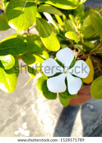 Periwinkle,rose periwinkle,Catharanthus roseus, commonly known as bright eyes, Cape periwinkle, graveyard plant, Madagascar periwinkle, old maid, pink periwinkle, rose periwinkle #1528571789