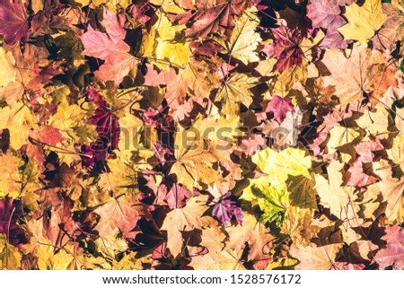 Maple leaves in the autumn forest at the morning at dawn.  Background. Top view. Indian summer. #1528576172