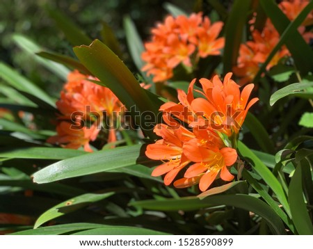 Cluster of orange clivia flowers in garden. Close up of flower Clivia miniata. macro shot of an orange flower. Natal lily, bush lily, Kaffir lily. Beautiful flower in a botanical garden #1528590899