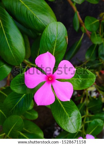 Periwinkle,rose periwinkle,Catharanthus roseus, commonly known as bright eyes, Cape periwinkle, graveyard plant, Madagascar periwinkle, old maid, pink periwinkle, rose periwinkle #1528671158