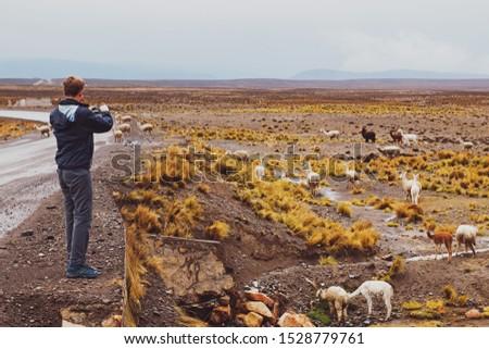 Man traveller taking photo of alpacas or llamas at Peruvian altiplano