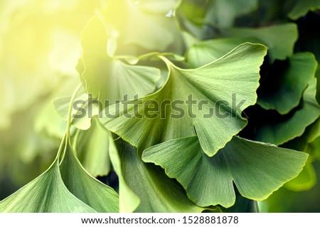 Green ginko biloba leaves in a sunlight #1528881878