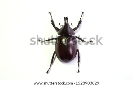 Rhinoceros beetle, Hercules beetle, Unicorn beetle, horn beetle, male on white background #1528903829