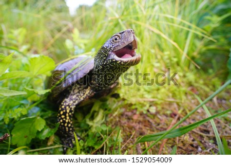 european pond terrapin with habitat opens the mouth, Emys orbicularis, from frog perspective with wide angle #1529054009