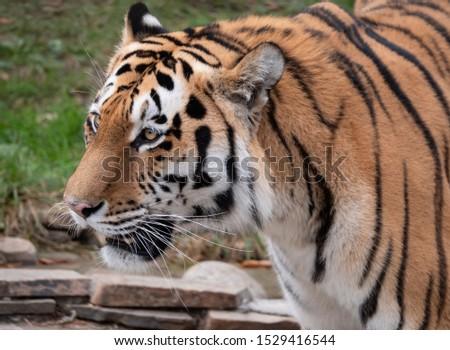 Close up of a predatory amur tiger's face #1529416544