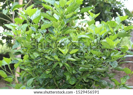 This is mandhara leafs This Tree flowers used to God pooja  #1529456591
